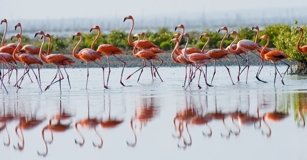 反射と水中に立っているカリブ海のフラミンゴのグループ