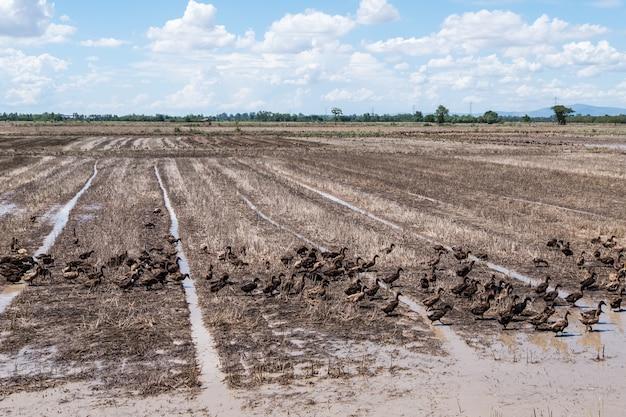 Группа в составе утка в рисовых полях.