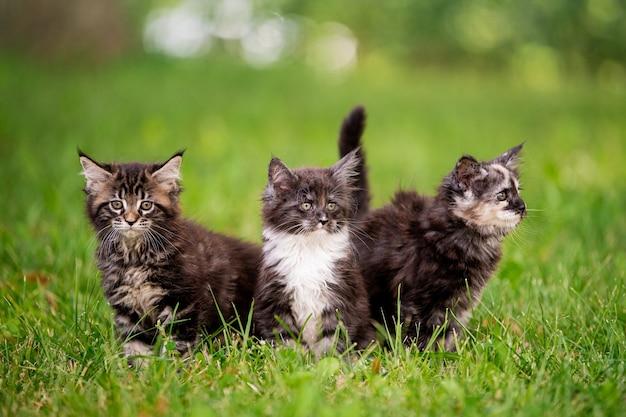 푹신한 메인 쿤 새끼 고양이 3마리가 푸른 잔디 위를 걷습니다.