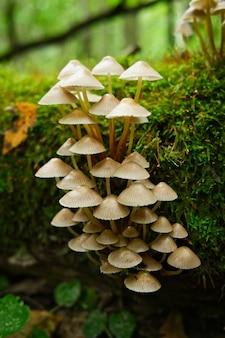 秋の森の苔むした木の幹にある毒キノコのグループ危険な毒キノコ
