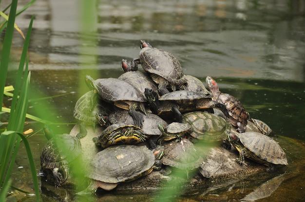 池の水の中の岩の上に集まっている間、お互いに登っているカメのグループ。