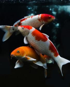 黒の背景に分離された様々な鯉のグループ