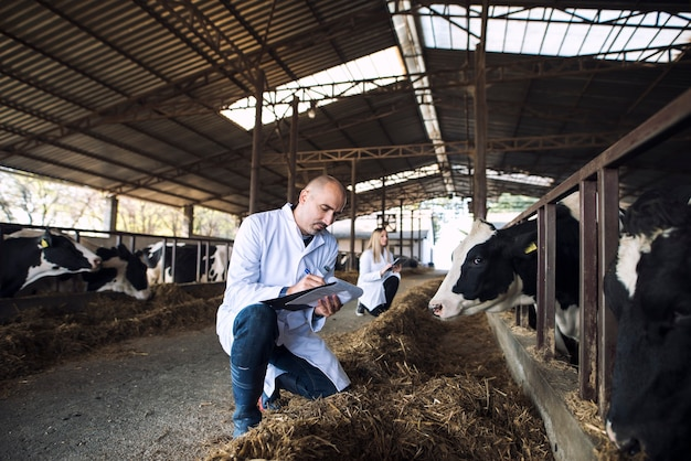 Группа врачей ветеринаров проверяет состояние здоровья крупного рогатого скота на коровьей ферме