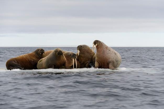 Группа моржей отдыхает на льдине в арктическом море.