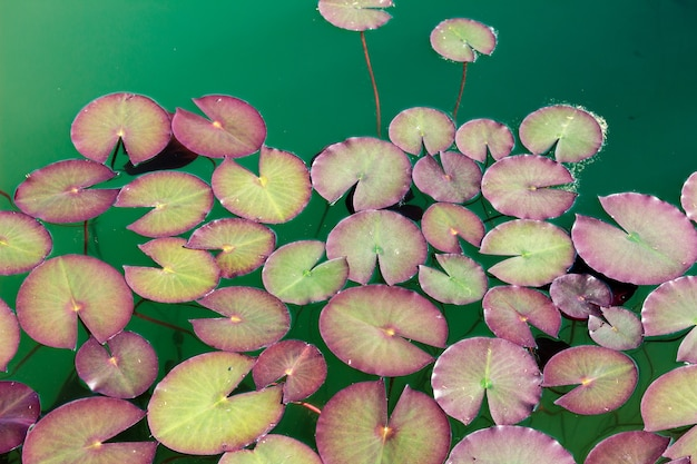 湖の表面の睡蓮のグループ