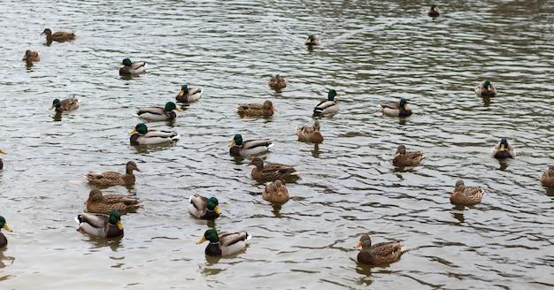 Группа диких уток в воде пруда в парке. утки кряквы (anas platyrhynchos) в дикой природе.