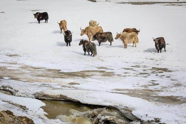 Группа яков на заснеженной долине. фото высокого качества
