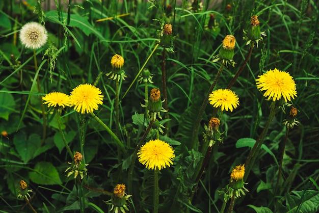 Группа желтых одуванчиков на зеленой лужайке.
