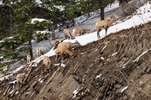 雪に覆われた岩山の丘の中腹のバンフ国立公園に立っている若いオオツノヒツジのグループ