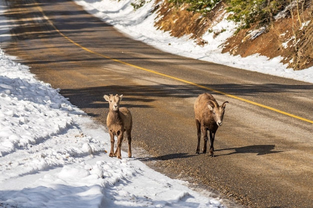 雪に覆われた山道のマウントノーキーシーニックドライブバンフカナダの若いオオツノヒツジのグループ