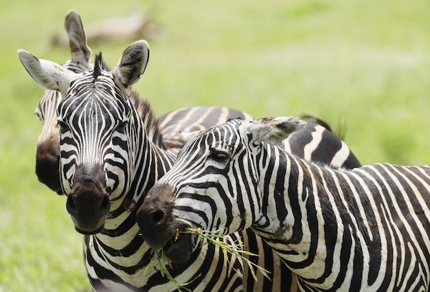 Tsavo 동쪽 국립 공원, 케냐, 아프리카에서 방목 얼룩말의 그룹