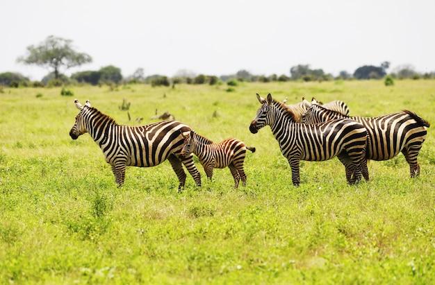 アフリカ、ケニアのツァボイースト国立公園で放牧しているシマウマのグループ