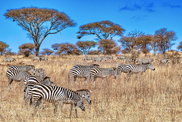 Группа зебр в африке