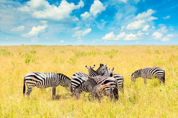 마사이 마라 국립공원의 아프리카 사바나에 있는 얼룩말 무리. 아프리카 케냐의 야생 동물. 얼룩말, 푸른 하늘, 구름이 있는 아프리카 풍경.