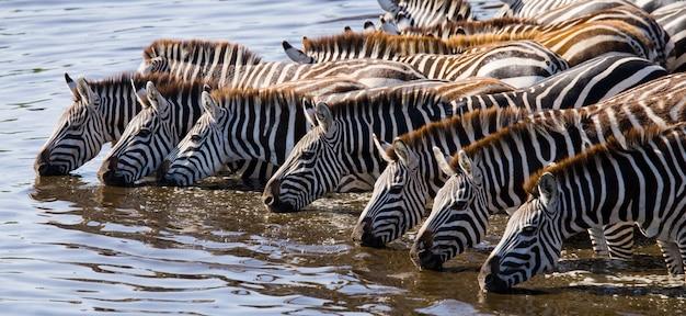 シマウマのグループは川から水を飲んでいます。ケニア。タンザニア。国立公園。セレンゲティ。マーサイ・マーラ。