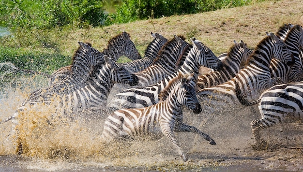 水を横切って走っているシマウマのグループ。ケニア。タンザニア。国立公園。セレンゲティ。マーサイ・マーラ。