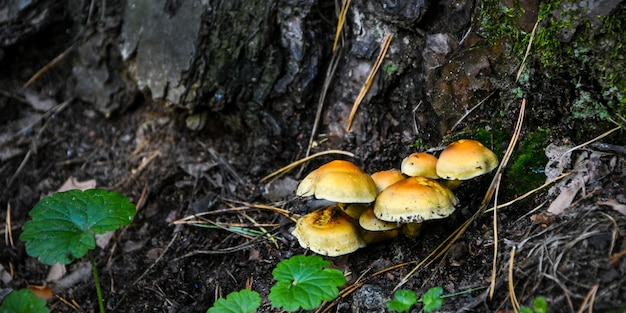 A group of orange mushrooms growing on an old fallen tree trunk. galerina marginata, known as the funeral bell mushroom or deadly galerina, a deadly poisonous mushroom
