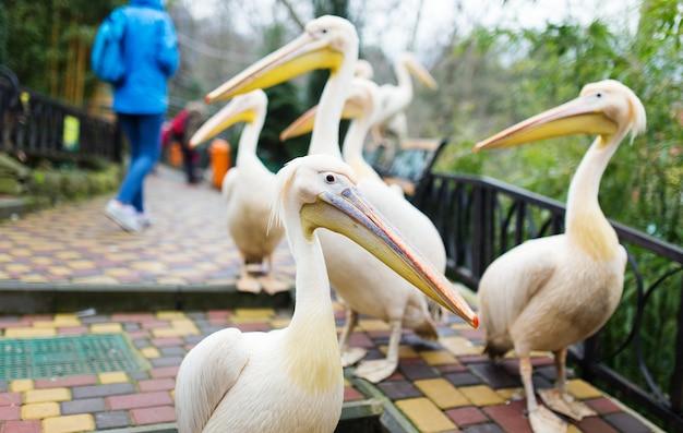 Group of pelicans in zoo