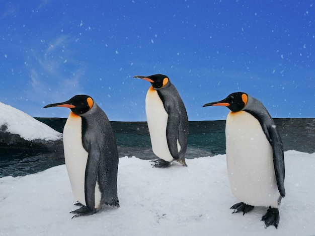 Group of penguins walking on ice beach in daytime with snowfall and blue sky, adorable animal in winter