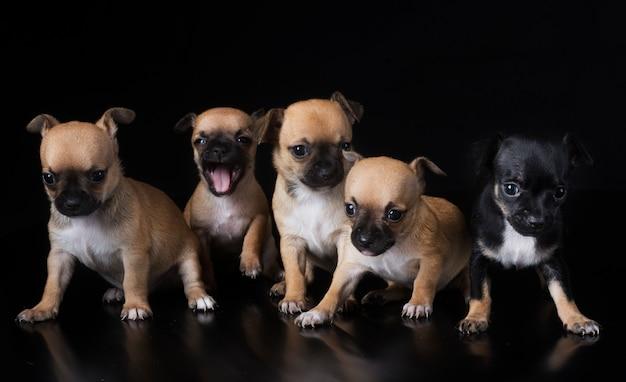 Group pf puppies chihuahua