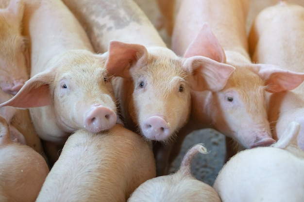 Group of pig that looks healthy in local asean pig farm at livestock.