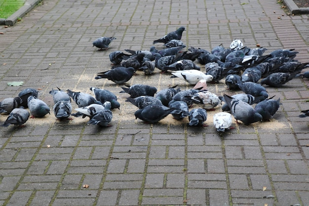 Group of pigeons eating seeds on the street pavement. animal concept.
