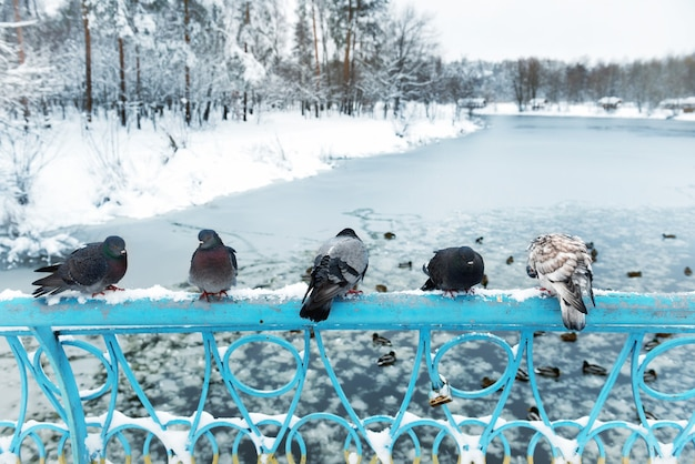 Group of pigeons sitting near frozen lake