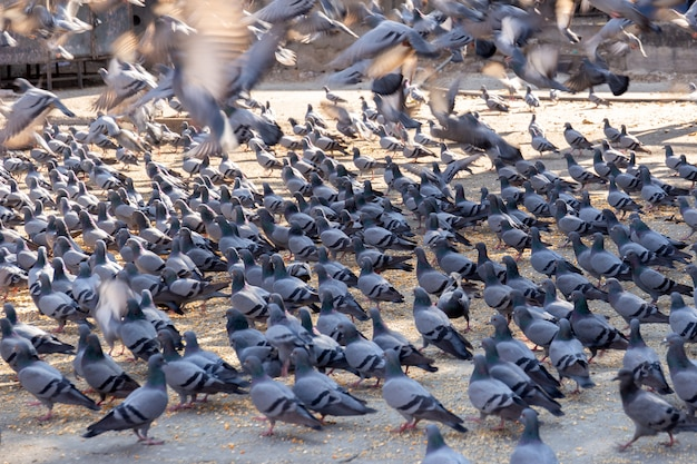 Group of the pigeons on street in jaipur indina.