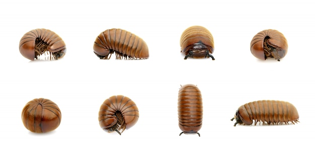 Group of pill millipede worm (oniscomorpha) isolated. glomerida. insect. animal.
