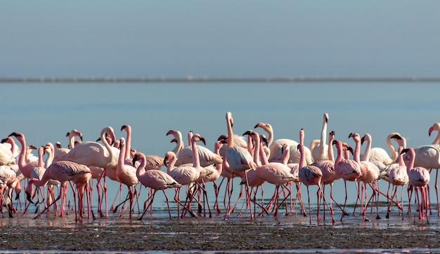 Group of pink flamingo birds  in the blue lagoon  on a sunny day