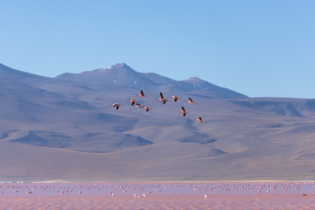 Group of pink flamingo flying over salt lake