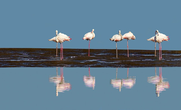Group of pink flamingos in the blue lagoon  on a sunny day. walvis bay, namibia