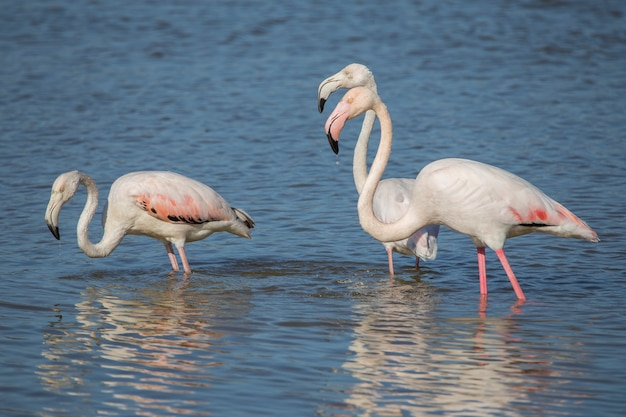Group pink flamingos (phoenicopterus roseus) in the natural park the marshes