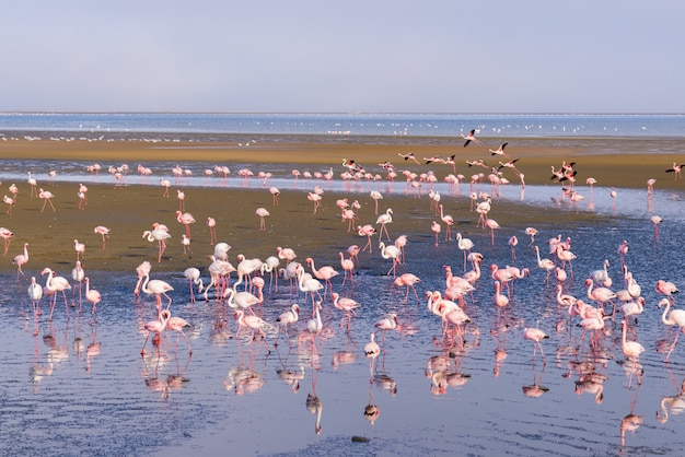 Group of pink flamingos on the sea at walvis bay, namibia, africa