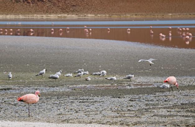 Group of pink flamingos and seagulls at laguna hedionda, the saline lake in potosi, bolivia