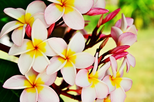 Group of pink plumeria flower on branch tree leaf background