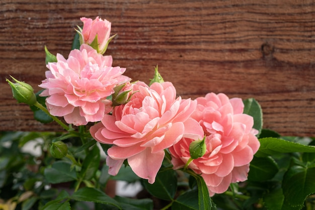 Group of pink rose with wooden plank. copy space