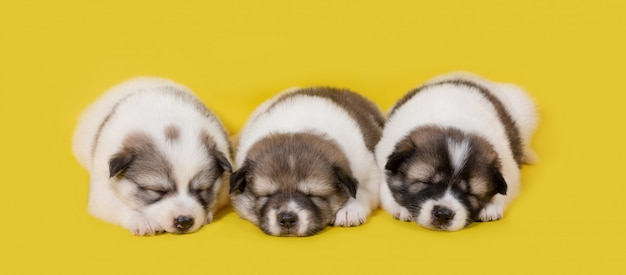 Group of puppy dog sleeping on yellow background