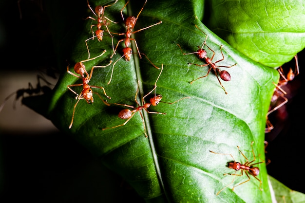 Group read ant on green leaf