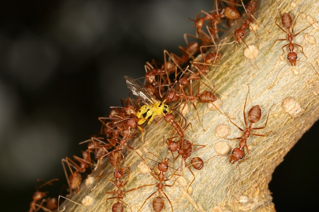 Группа красных муравьев атакует желтую деформацию на дереве в природе