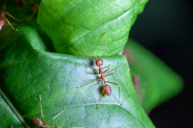 Group red ant on green leaf