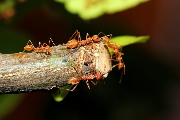 タイの森で自然の棒の木に赤アリをグループ化します。