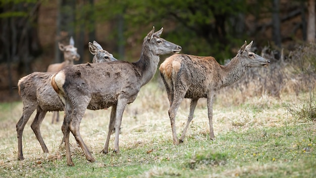 Group of red deer standing on field in spring nature.
