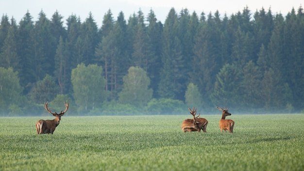 Group of red deers standing on field in morning mist