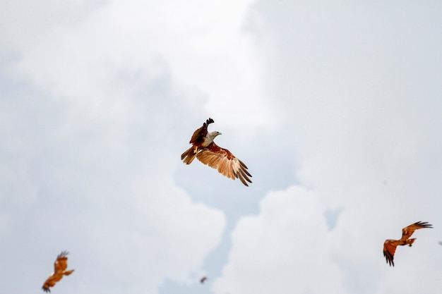 Group red eagle on the sky in nature at thailand