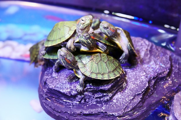 Group of red eared slider turtle close up