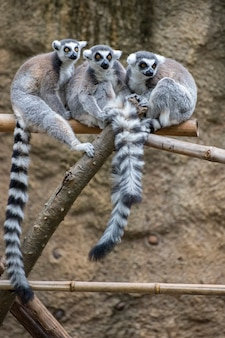 Group of ring-tailed lemurs socializing together