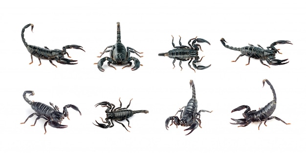 Group of scorpion isolated. insect. animal.