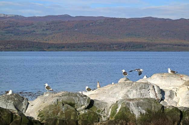 Group of seagulls on the rocky island of beagle channel, ushuaia, patagonia, argentina
