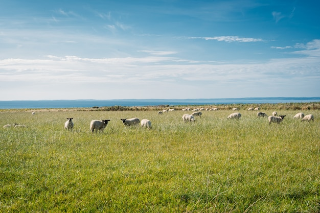 Group of sheep in a grass field,